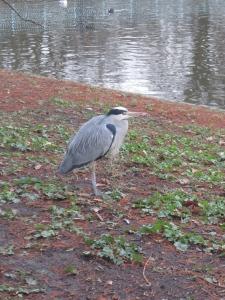 Grey Heron in St. James Park